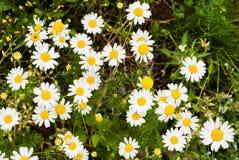Gazonów kwiaty Zdjęcie Stock