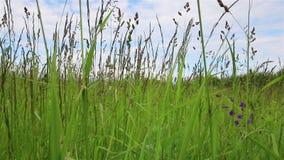 Gazonów ziele zbliżenie zdjęcie wideo