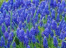 Gazon blauwe muscari stock afbeeldingen