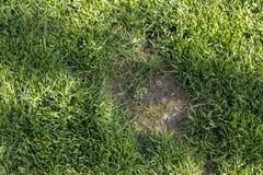 Gazon cierpiał szkodę od zwierzęcia domowego lub choroby Potrzeba aktualizować gazon zdjęcie stock