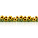 Gazon met zonnebloem en gras met bezinning Stock Afbeelding