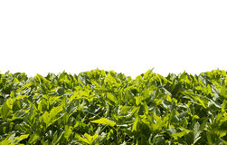 Gazon od zielonych liści Obrazy Royalty Free