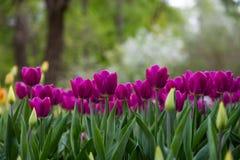 Gazon van kleurrijke tulpen in het de lentepark stock foto