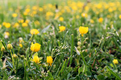 Gazon van wild gras en gele bloemen Stock Foto's