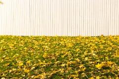 Gazon z jesień żółtymi lisami na tle biały ogrodzenie równo zdjęcie stock