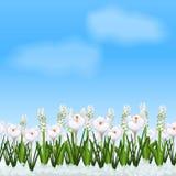 Gazon z kwiatu bielu krokusami ilustracji
