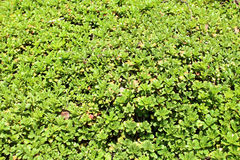 Gazon z Sedum Spurium Obraz Stock