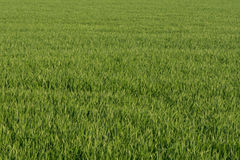 Gazon zielona pszeniczna trawa Obrazy Royalty Free