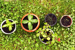 Gazonu i garnka flancy rośliny zakończenie w górę fotografii Obraz Royalty Free