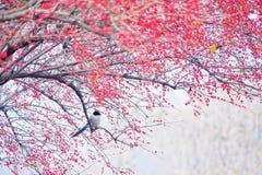 gazza Azzurro-alata e frutti rossi fotografie stock libere da diritti