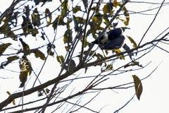 Gazza blu dal becco giallo o gazza d'oro fatturata in Jim Corbett National Park, India immagini stock libere da diritti