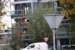Gazza che mangia le bacche rosse del firethorn in un piccolo albero in gouda, Paesi Bassi fotografia stock libera da diritti