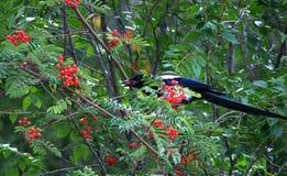 Gazza che si diletta sulla montagna matura Ash Berries Immagine Stock Libera da Diritti