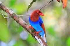 Gazza del blu del Ceylon o dello Sri Lanka immagini stock