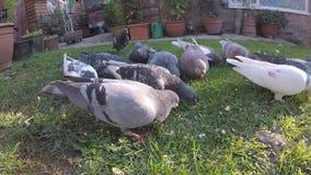 Gazza e piccioni selvaggi che si alimentano nel giardino urbano della casa archivi video