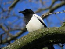Gazza negli alberi di Birkenhead Fotografia Stock Libera da Diritti