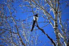 Gazza in un albero di Aspen Fotografia Stock