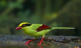 Gazza verde in Tailandia Fotografie Stock Libere da Diritti