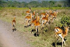 Gazzella, masai Mara Immagini Stock