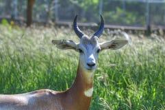 Gazzella nello zoo di Oklahoma City immagini stock