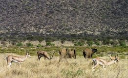 Gazzelle ed elefanti che passeggiano attraverso i pascoli di Samburu immagine stock libera da diritti