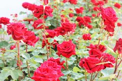 Beautiful rose bushes Stock Photos