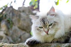 Gderliwej twarzy Perski kot w popielatym kolorze i niebieskich oczach obraz royalty free