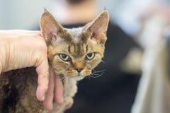 Gderliwy kot patrzeje ciebie fotografia stock