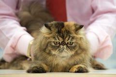 Gderliwy kota zakończenie w górę portreta obraz stock