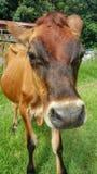 Gderliwy krowy zakończenie up zdjęcia royalty free