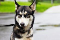 Gderliwy pies w deszczu, siberian husky obraz stock