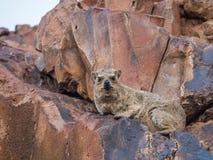 Gderliwy przyglądający rockowy góralek kłaść na czerwieni skale patrzeje kamerę, Palmwag koncesja, Namibia, Afryka fotografia royalty free
