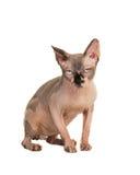 Gderliwy sfinksa kot zdjęcie stock