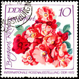 GDR - CIRCA 1972: postage stamp printed in GDR shows image of Bergers Rose Stock Images