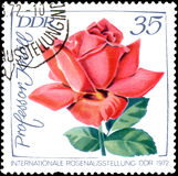 GDR - CIRCA 1972: postage stamp printed in GDR shows image of rose Professor Knoll Stock Photography