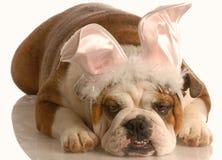 gdy buldoga królik ubierał ubierać Zdjęcie Royalty Free
