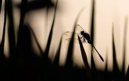 Gdy Dragonflies Odpoczywają w cisza ranku obraz royalty free
