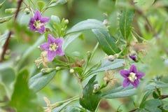 Gdy niespodzianka te mała purpura kwitnie zdjęcia stock