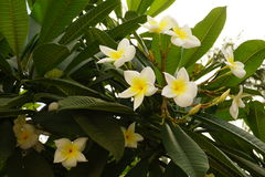 gdy tło był może używać kwiat magnolia Zdjęcie Royalty Free