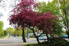 Gdynia, Polen - Roze bloesem van Sakura royalty-vrije stock afbeeldingen