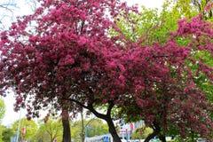 Gdynia, Polonia - 2 maggio 2014: Fiore rosa di Sakura immagini stock