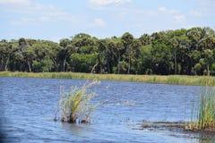 Gdzieś w błotach południowy Floryda czeka gator obrazy royalty free