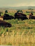 gdzie wędrują bizony Obrazy Stock