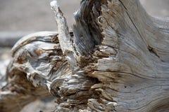 Geërodeerde boomstam op gevallen grijze boom Royalty-vrije Stock Foto's