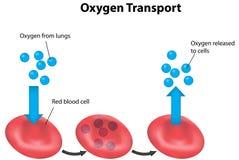 Geëtiketteerde de Ademhaling van de rode bloedcelcyclus Stock Foto's