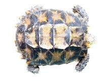 Geïmponeerde schildpad Royalty-vrije Stock Fotografie