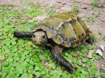 Geïmponeerde schildpad Stock Afbeeldingen