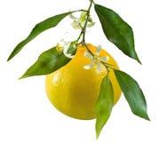 Geïsoleerd beeld van sinaasappelen op een tak dicht omhoog stock foto