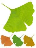 Geïsoleerd blad van ginkgobiloba, geneeskrachtige boom met anti-oxyderend effect De groene varianten van de boomkleur -, geel, si royalty-vrije illustratie