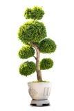 Geïsoleerd bonsai houseplant Stock Afbeeldingen